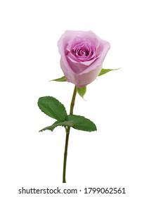 Single purple rose flower isolated on white background