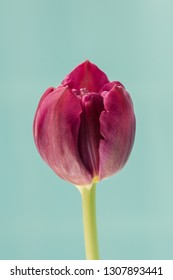 Single purple tulip on blue background