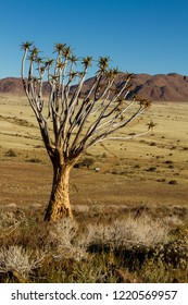 Single quiver tree in Namibia 2