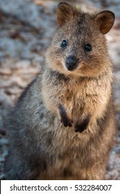 Single quokka Setonix brachyurus standing looking at camera on Rottnest Island Western Australia