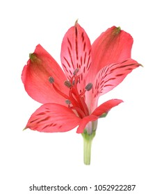 Single red alstro flower isolated on white background