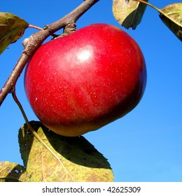 Single red apple in late fall