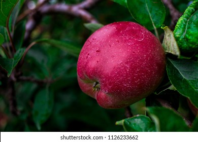 single red apple in tree with green leaves