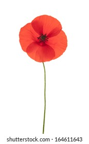 Single red corn poppy flower  isolated on white background with shallow depth of field.