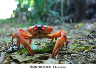 A single red crab on Christmas Island, an Australian territory in the Indian Ocean