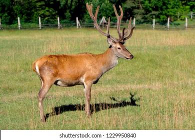 Single Red Deer, Cervus elaphus, feeding in a wildlife park in Masuria region in Poland