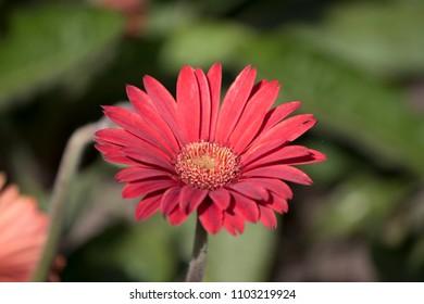Single red Gerbera flower