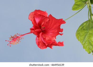 A single red Hibiscus flower, the National Flower of Malaysia