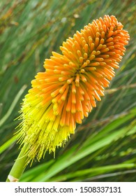 single red hot poker (Kniphofia), tritoma, torch lily or poker plant bicoloured orange yellow flower in full bloom in Cape Town, South Africa and is native to Africa and from the family Asphodelaceae