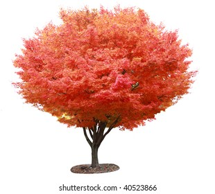 Single red japanese maple tree isolated on white background