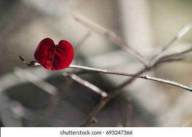 Single Red Leaf Heart on a Fall or Winter branch