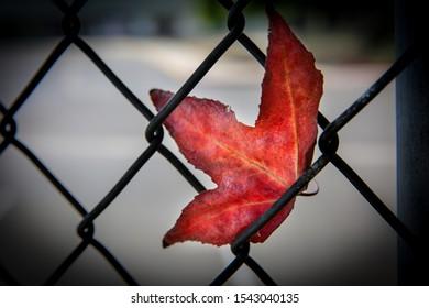Single Red Leaf Stuck on Fence
