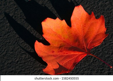 Single Red Maple leaf on the dark gray ground - Fall foliage season at park of San francisco United states of America USA  - Red nature