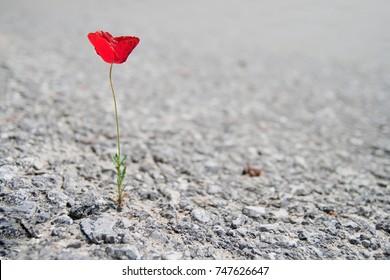 A Single red Poppy flower growing through asphalt