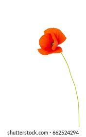 Single red poppy flower. Single red poppy flower isolated on a white background.