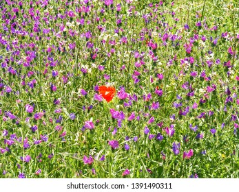 a single red poppy flower in the middle of a purple-blue meadow in spring flowers, nature and beauty red poppy flower