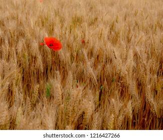 A single red poppy in golden field of barley along the Voie du Puy, Camino de Santiago (St James way)