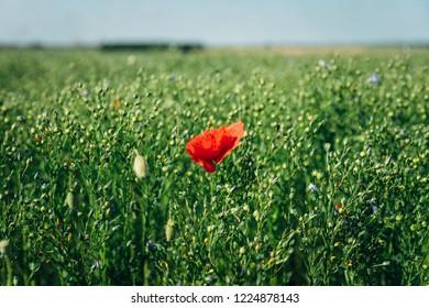 A single red poppy growing in a field in France