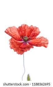 Single red poppy isolated on white background.