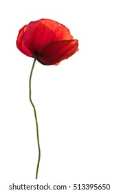 Single red poppy as memory symbol isolated on white background