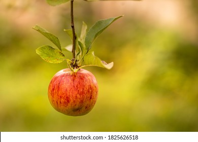 Single red ripe Gala apple on the apple tree branch on the green garden blurry artistic bokeh orchard background. Concept of tempation, sin and forbidden fruit. Sunny morning light. Idyllic close up.