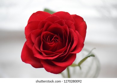 A single red rose