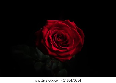 Single red rose with black background