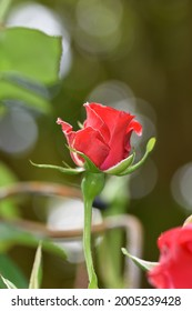 A single red rose with a bokeh background