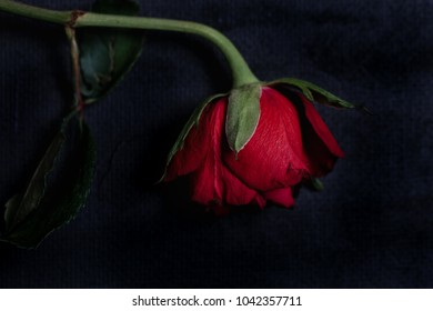 Single red rose with dark tones and already slightly wilted petals as symbol for death, romantic but tragic love or end of a relationship on black background