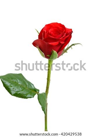 Single red rose flower isolated on stock photo edit now 420429538 single red rose flower isolated on white background mightylinksfo