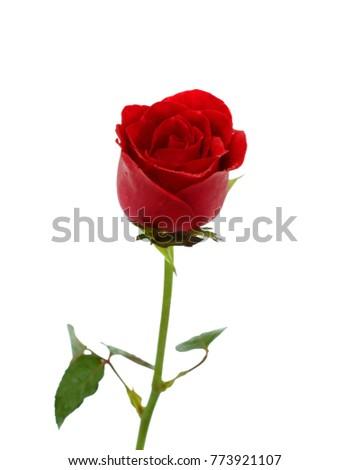 Single red rose flower isolated on stock photo edit now 773921107 single red rose flower isolated on white background mightylinksfo