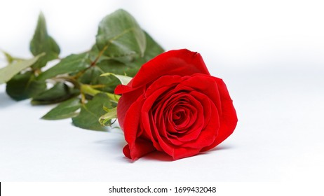 Single red rose on white background. Shallow focus.