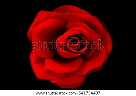 0514df9948c9a4 Single Red Rose Swim On Water Stock Photo (Edit Now) 541754407 ...