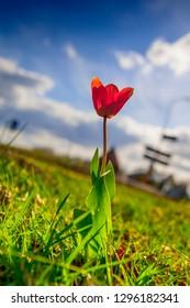 Single red tulip alongside a dutch road