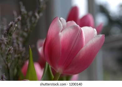 Single Red tulip at macro closeup profile