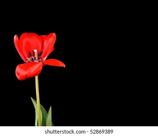 Single red tulip on black with copy-space