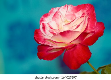 Single red and white Double Delight Rose against a blue green background.