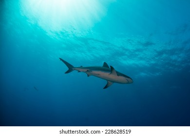 A single reef shark swimming towards the open sea
