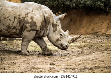 Single Rhinoceros in a rocky enclosure at the Gladys Porter Zoo, Brownsville Texas