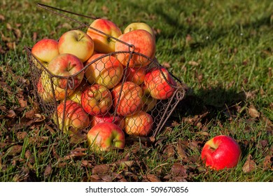 Single ripe apple and other apples in a wire basket during harvest on a meadow.