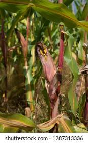 single ripe corn in a maize field