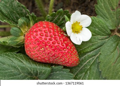 a single ripe strawberry next to one white flower surrounded by the leaves of the plant