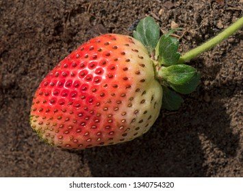 a single ripening strawberry growing outdoors in a garden on rich natural brown soil showing the pattern of the seeds