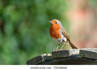 Single Robin perched on a park bench.