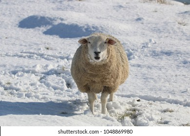 Single Romney Marsh sheep stood looking at the camera standing in a snowy field