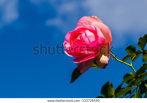 Single rose flower in autumn against the background of clear blue sky