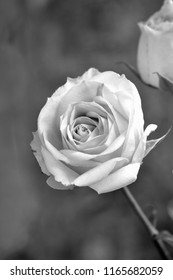 Single Rose Flower Black and White