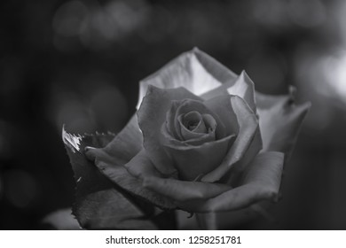 Single rose flower in the garden. Nature. Black and white coloure