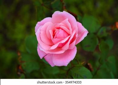 Single rose flower on green leaves background.