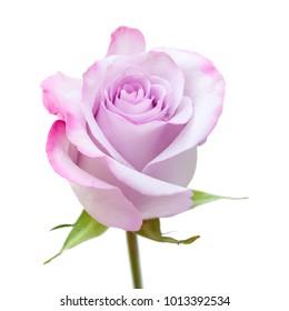 single rose flower with unusual color - pale blue -  lilac petals